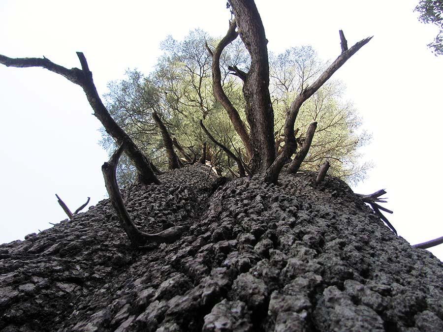 Tree in India